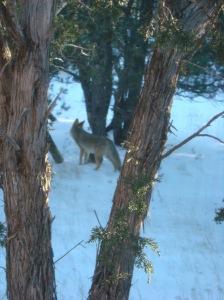 2011 January Coyotes 033