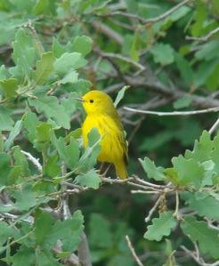 warbler at ease