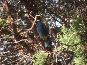 Male Western  Blue Bird at my window